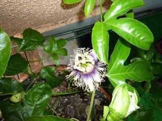 果物トケイソウ(パッションフルーツ)の花