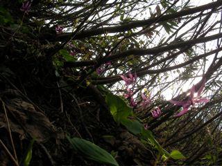 カタクリの群落:5月4日林道で。